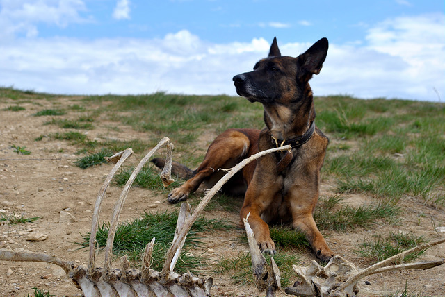 Malinois laying next to bones