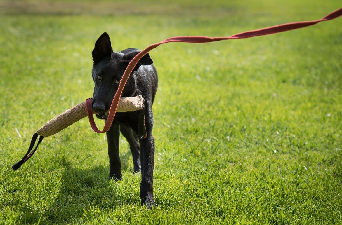 Black Malinois with Tug Toy
