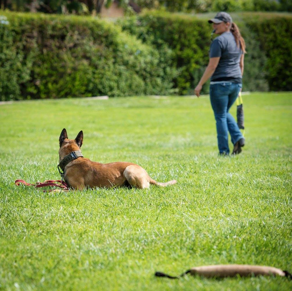 Malinois Down Stay with Toy Distractions