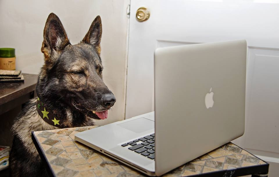 German Shepherd Looks at Computer