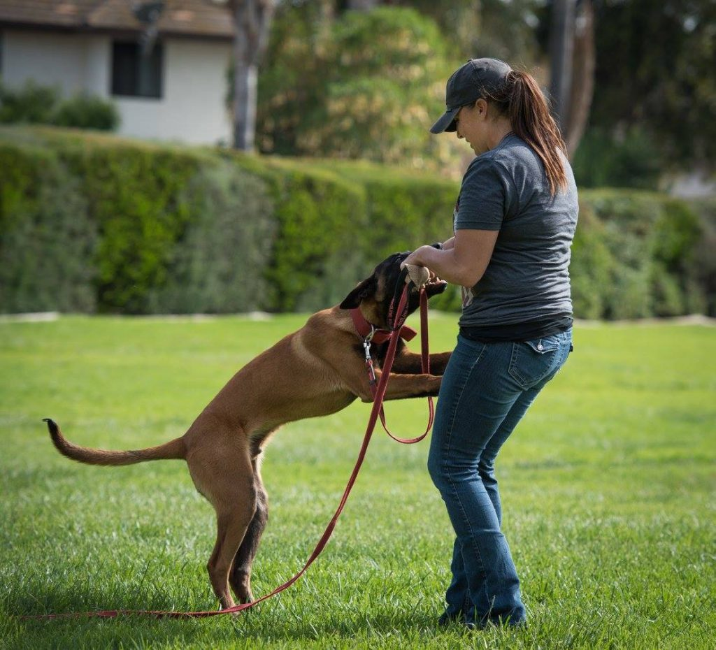 Dog Trainer Meagan Karnes plays tug with her Belgian Malinois
