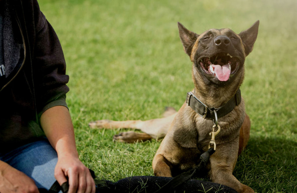 Women's arm by laying down Malinois panting in the grass.