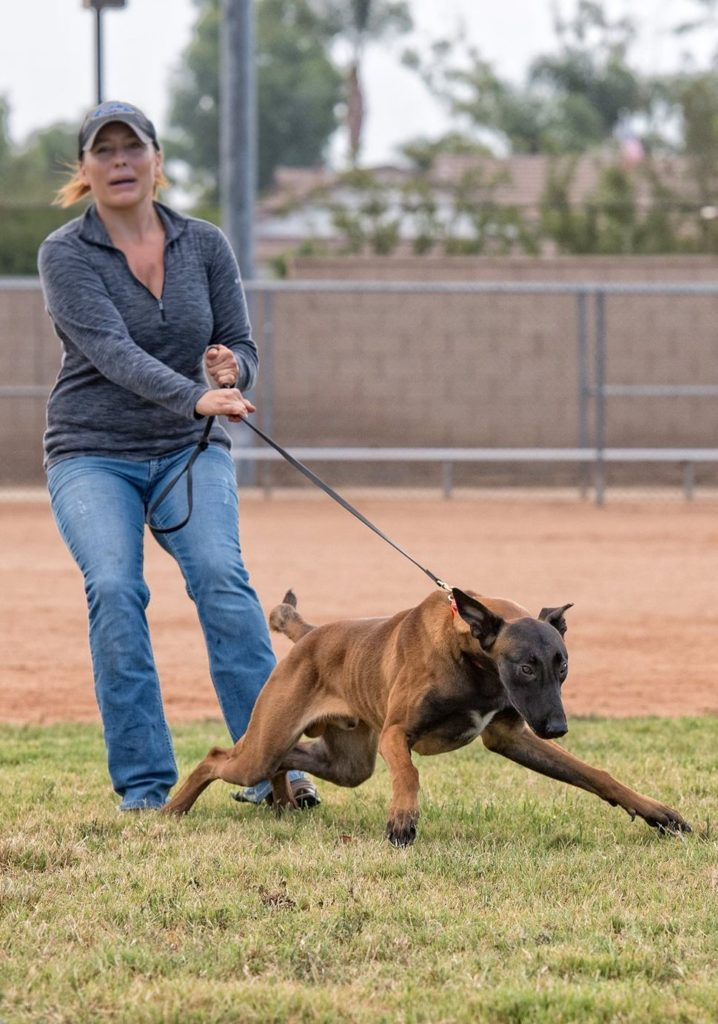 Malinois pulling owner
