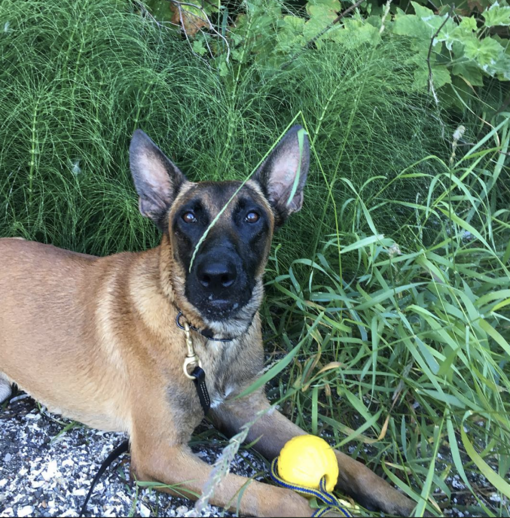 Malinois dog stares at camera while sitting with yellow ball between front paws in grass.