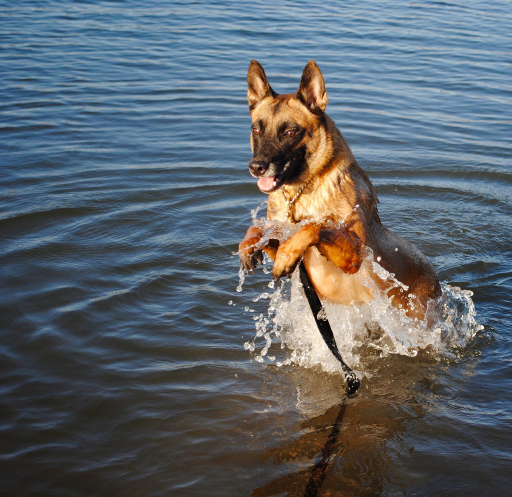 Malinois in body of water jumps up with front paws out of water