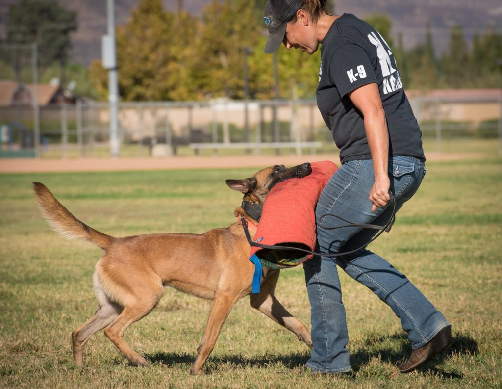 Dog trainer, Meagan Karnes leads Malinois on leash while dog holds Bitework sleeve in mouth.