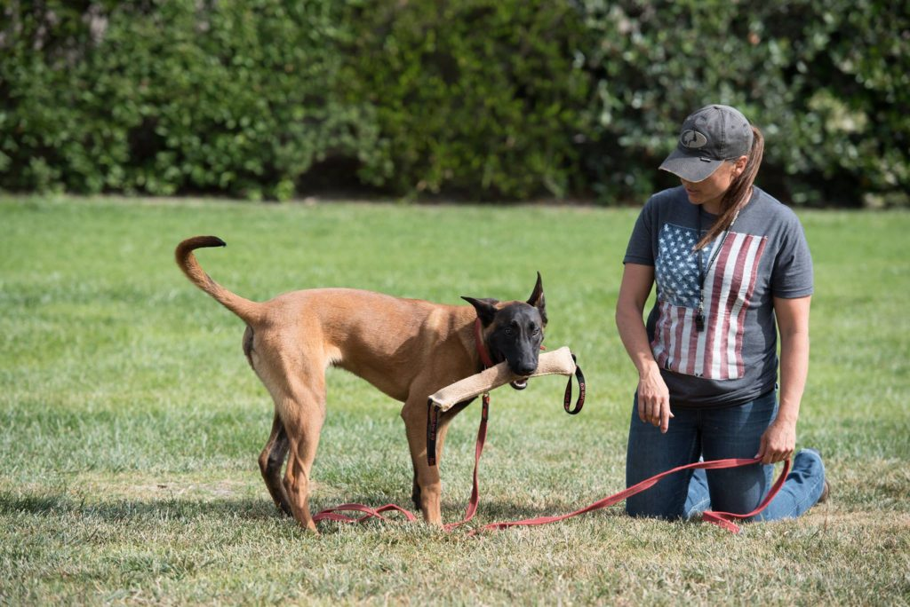 Dog trainer, Meagan Karnes kneels next to Malinois with tug during training.