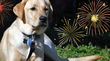 yellow lab with fireworks