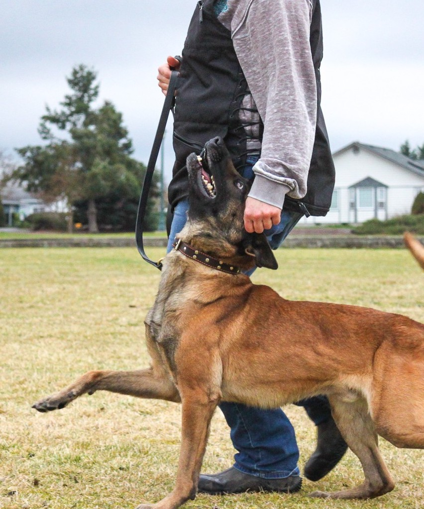 Belgian malinois practicing competitive heeling for dog sports